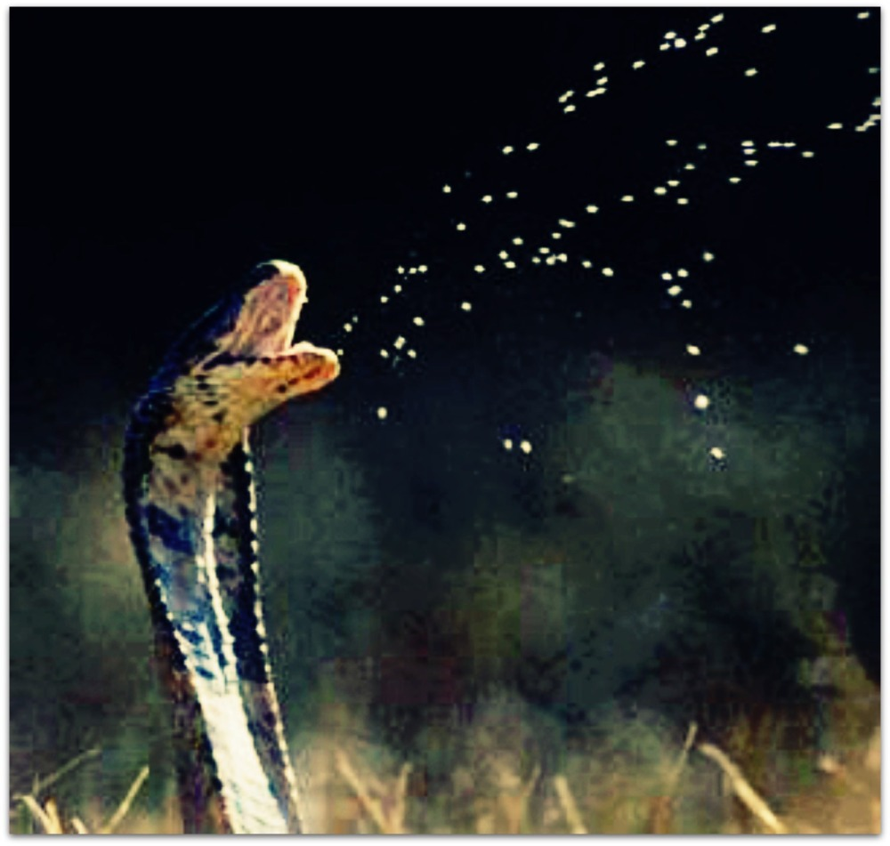 The King Cobra is second in my totem.