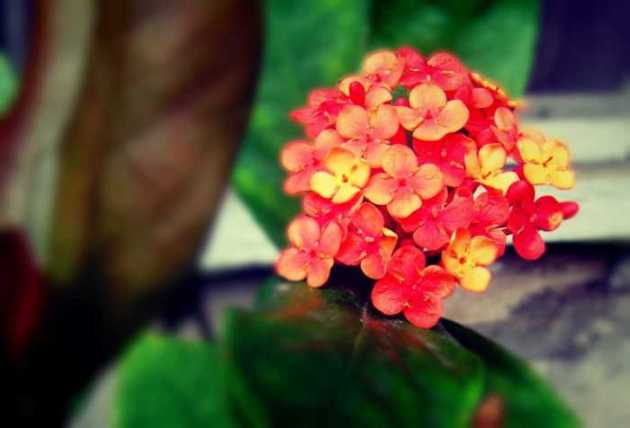 Southeast Asia Philippines Bicol Camarines Sur Balai Manuela Flowers 4