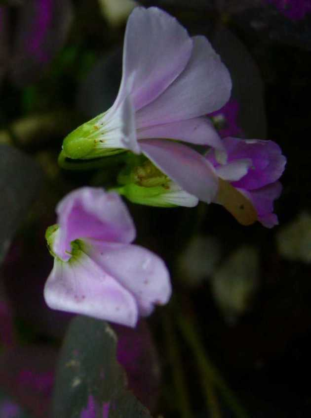 Southeast Asia Philippines Bicol Camarines Sur Balai Manuela Flowers 6