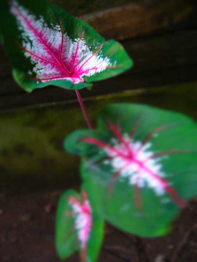 Southeast Asia Philippines Bicol Camarines Sur Balai Manuela Flowers 8